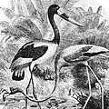 Flamingo & Jabiru by Granger