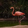 Flamingo 1 San Diego Zoo by Phyllis Spoor