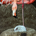 Flamingo And Chick by Anthony Jones