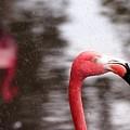 Flamingo And Rain by Richard Xuereb