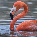 Flamingo And Water Drops by Rima Biswas