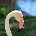Flamingo Closeup by Lorraine Baum