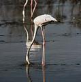 Flamingo by Fayez Alnaqbi