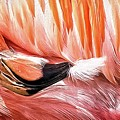 Flamingo Feather by Alice Gipson