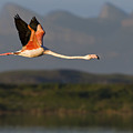 Flamingo Flight by Basie Van Zyl