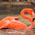 Flamingo by Gaby Swanson