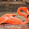Flamingo by Gaby Swanson