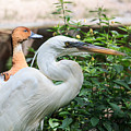 Flamingo Gardens - Great Egret Profile by Ronald Reid