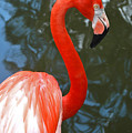 Flamingo In Profile by Allan Einhorn