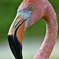 Flamingo by Marcia Colelli