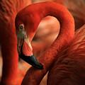 Flamingo Poised by Toma Caul