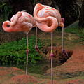 Flamingo See Flamingo Do by Mitch Spence