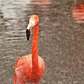 Flamingo by Valerie Morrison