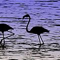 Flamingo Walk - Venezuela by Galeria Trompiz