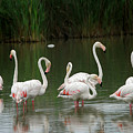 Flamingoes And Their Reflections by Anne Keiser