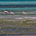 Flamingoes At Magaruque by Jeremy Hayden