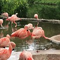 Flamingoes Looking Oh So Pretty  by Peta Jane Photographs
