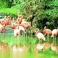 Flamingoes by Nereida Slesarchik Cedeno Wilcoxon