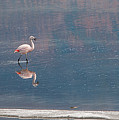 Flamingoes. by Usha Peddamatham