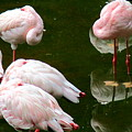 Flamingos 10 by Randall Weidner