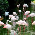 Flamingos 6 by Randall Weidner