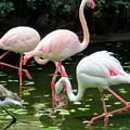Flamingos 8 by Randall Weidner