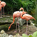 Flamingos by Carol Turner