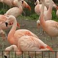Flamingos by Doris Giardini