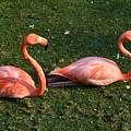 Flamingos by Francisco Machado