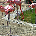 Flamingos by Hugh Carino