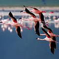 Flamingos In Flight-signed by J L Woody Wooden