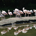 Flamingos With Reflection by Richard Bryce and Family