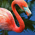 Flamingo Wading In Pond by Krista Russell