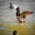 Flapping Lesser Scaup by Rrrose Pix