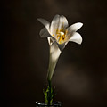 Flashlight Series Easter Lily 1 by Lou  Novick