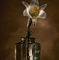 Flashlight Series Easter Lily 3 by Lou  Novick