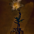 Flashlight Series Easter Lily 4 by Lou  Novick