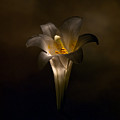 Flashlight Series Easter Lily 5 by Lou  Novick