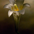Flashlight Series Easter Lily 7 by Lou  Novick
