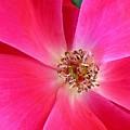 Flat Rose Hot by Florene Welebny