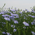 Flax V by Dylan Punke