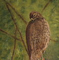 Fledged Red-shouldered Hawk by Cindy Morawski