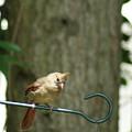 Fledgling Cardinal by Margie Avellino