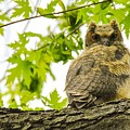 Fledgling Great Horned Owl by Robert Smice