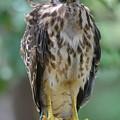 Fledgling Hawk by Deanna Cagle