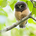 Fledgling Saw-whet Owl by Tim Grams