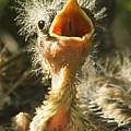 Fledgling Yellow Warbler by Gary Beeler