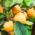 Fleshy Yellow Plums On The Branch by Jeelan Clark