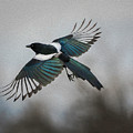 Flight Of A Magpie by Rick Taylor