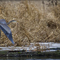 Flight Of The Heron No. 2 by Belinda Greb